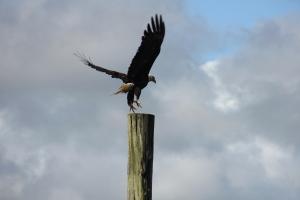 Fabulous Bald Eagles