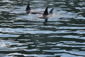 Orca Family, the male has the straighter Dorsal Fin